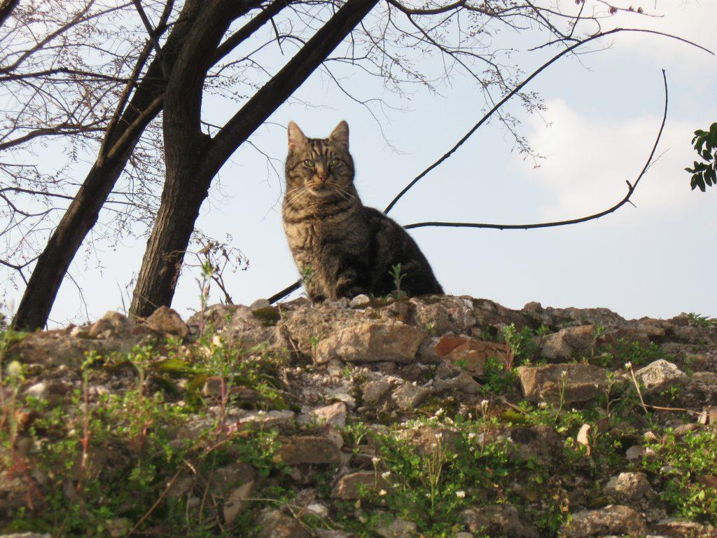 Majestätische Katze auf dem Forum Romanum