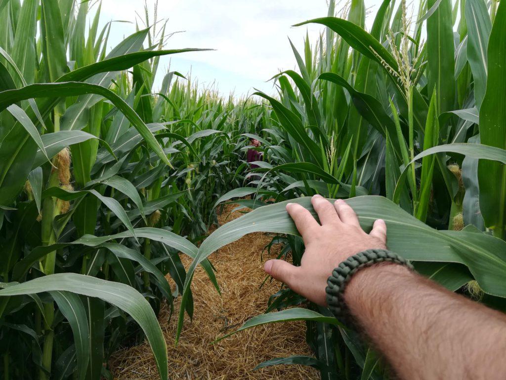 Enger Gang im Maislabyrinth