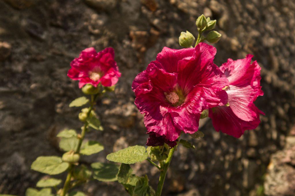 Blume in der Ruine Schauenburg