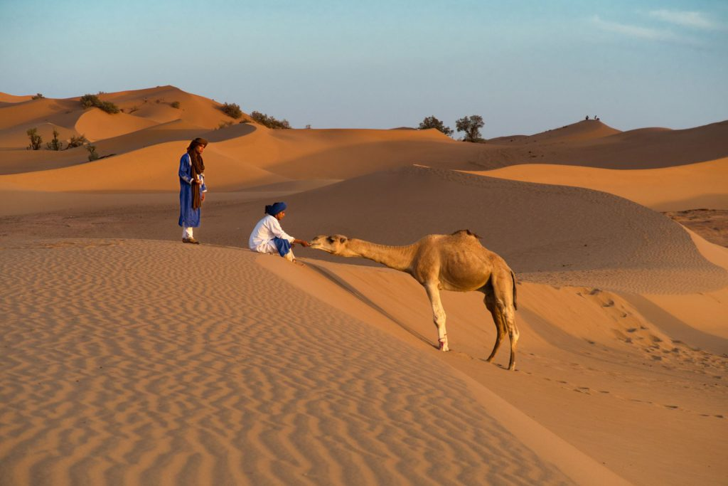Kamelführer gibt seinem Dromedar Brot