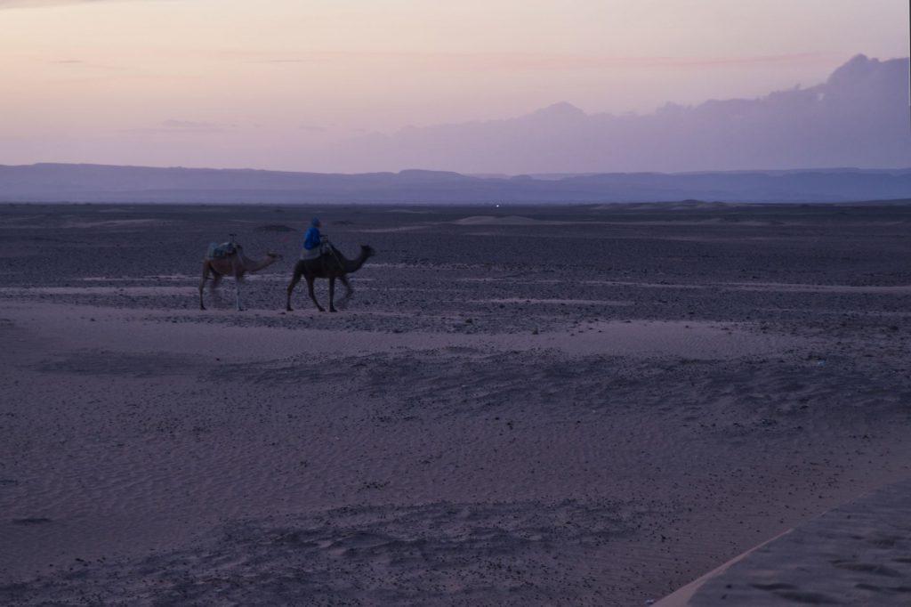 Berber mit zwei Kamelen