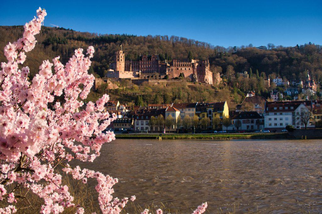 Heidelberger Schloss während der Kirschblüte